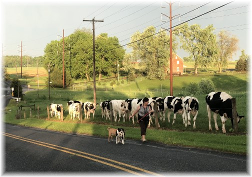 Cattle along Gibble Road 5/15/18
