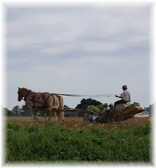 Old-order team farming 6/14/17
