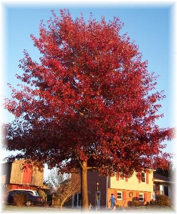 Oak tree in our front lawn