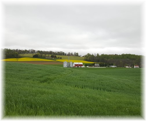 Yellow fields on Lebanon County PA farm 4/25/17 (Click to enlarge)