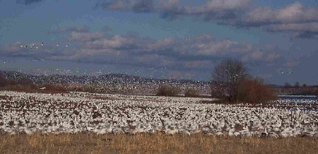 Snow Geese at Middle Creek Wildlife Management Area