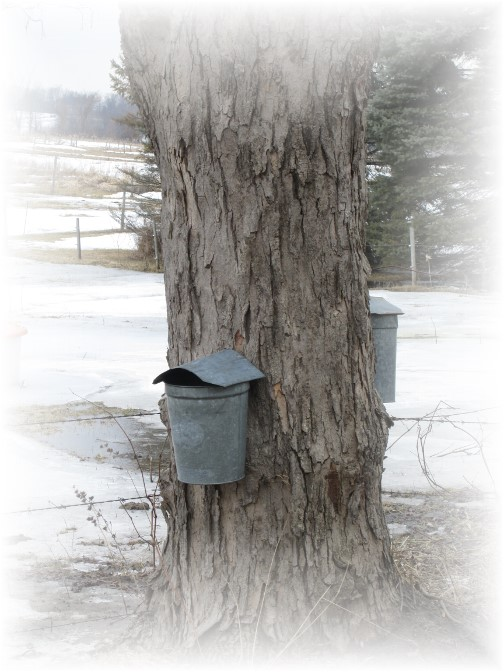 Maple sap buckets, NY 3/23/14