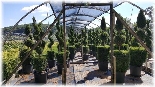Eaton Farms topiary 9/7/16