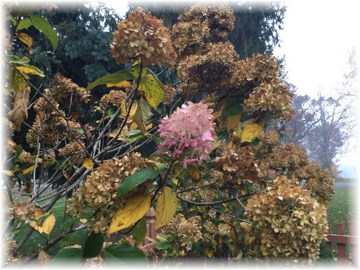 Hydranga tree 11/5/15