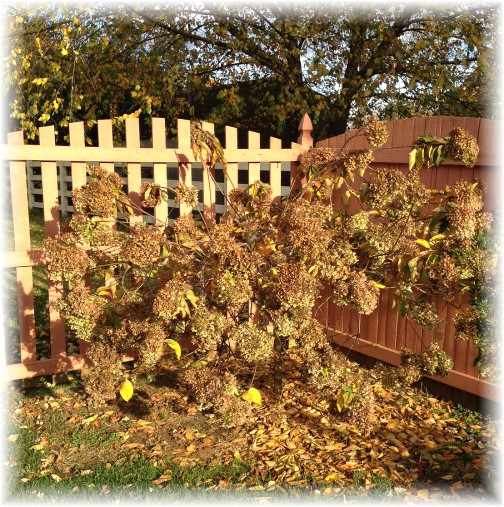 Hydrangea tree prior to pruning 10/30/15