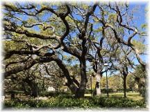 Live oaks, Saint Augustine, FL