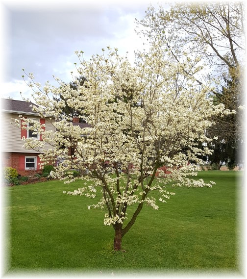 White dogwood in our front yard 4/26/16