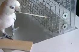 Cockatoo using a tool to reach food