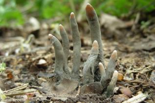 Dead Man's Fingers fungus
