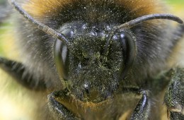 Bumblebee close-up. Image by Richard Bartz. (licence: CC by SA 2.5)