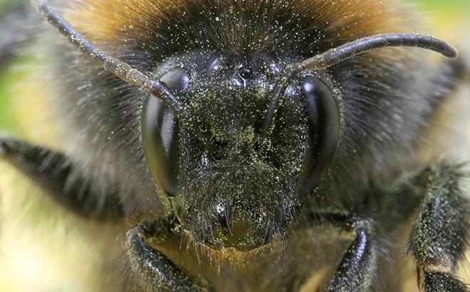 Bumblebee close-up. Image by Richard Bartz. (licence: CC by SA 2.5)