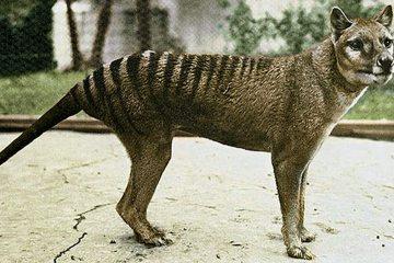 Tasmanian Tiger (thylacine)