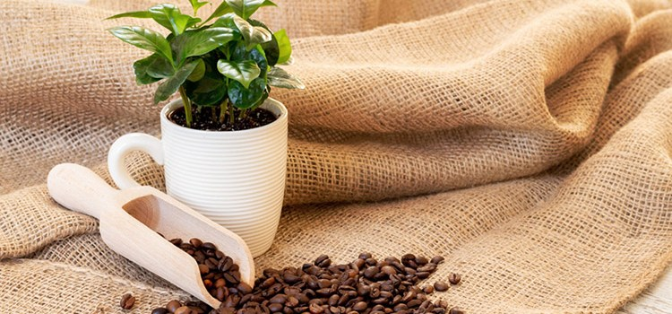 Can You Grow Coffee at Home