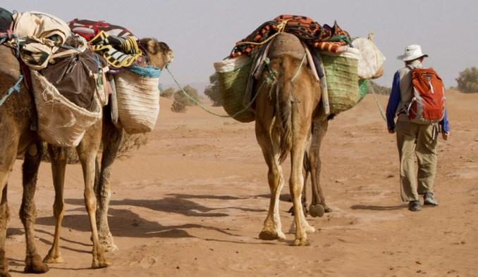 Camels transport