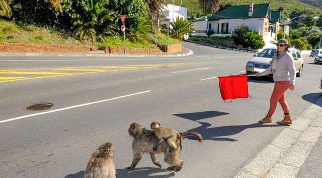 Elsabe baboon 10