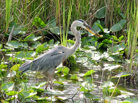 Everglades blue heron eating a fish