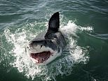 Young sharks mistake humans for seals, study finds