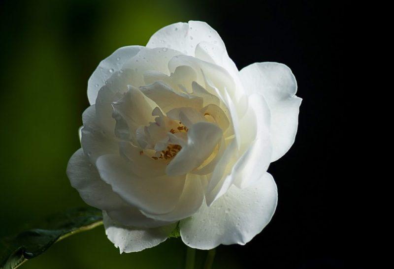 Mawar Putih Sebagai Simbol Cinta Suci