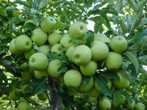 How To Start Apple Farming In Nigeria