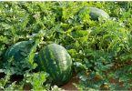 How To Start A Profitable Melon (Egusi) Farming Business In Nigeria