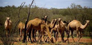 Why is Australia killing camels? Is it wrong or right decision?