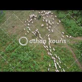 αγορά πλάνα βίντεο on line - πρόβατα που βόσκουν διάρκειας 15 sec V-1012