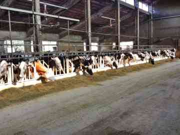 "This farm mils about 200 cows. They had a mix of Holsteins and ""Procross"" cows which are a mix of Holstein, Swedish Red and Montbeliard breeds."