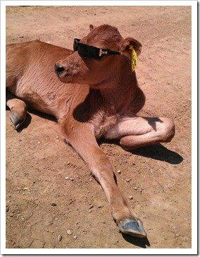 California Calf