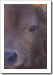 Baby Jersey Calf Eyes
