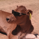 Dairymen have Mercy for Animals!