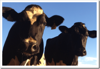 Interesting Facts about Cows | Dairy Moos