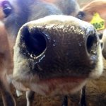 10 Facts about the Nature of Jersey Cows