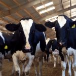 Why Cows deserve some Gratitude