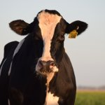 5 More Life Lessons from the Cows