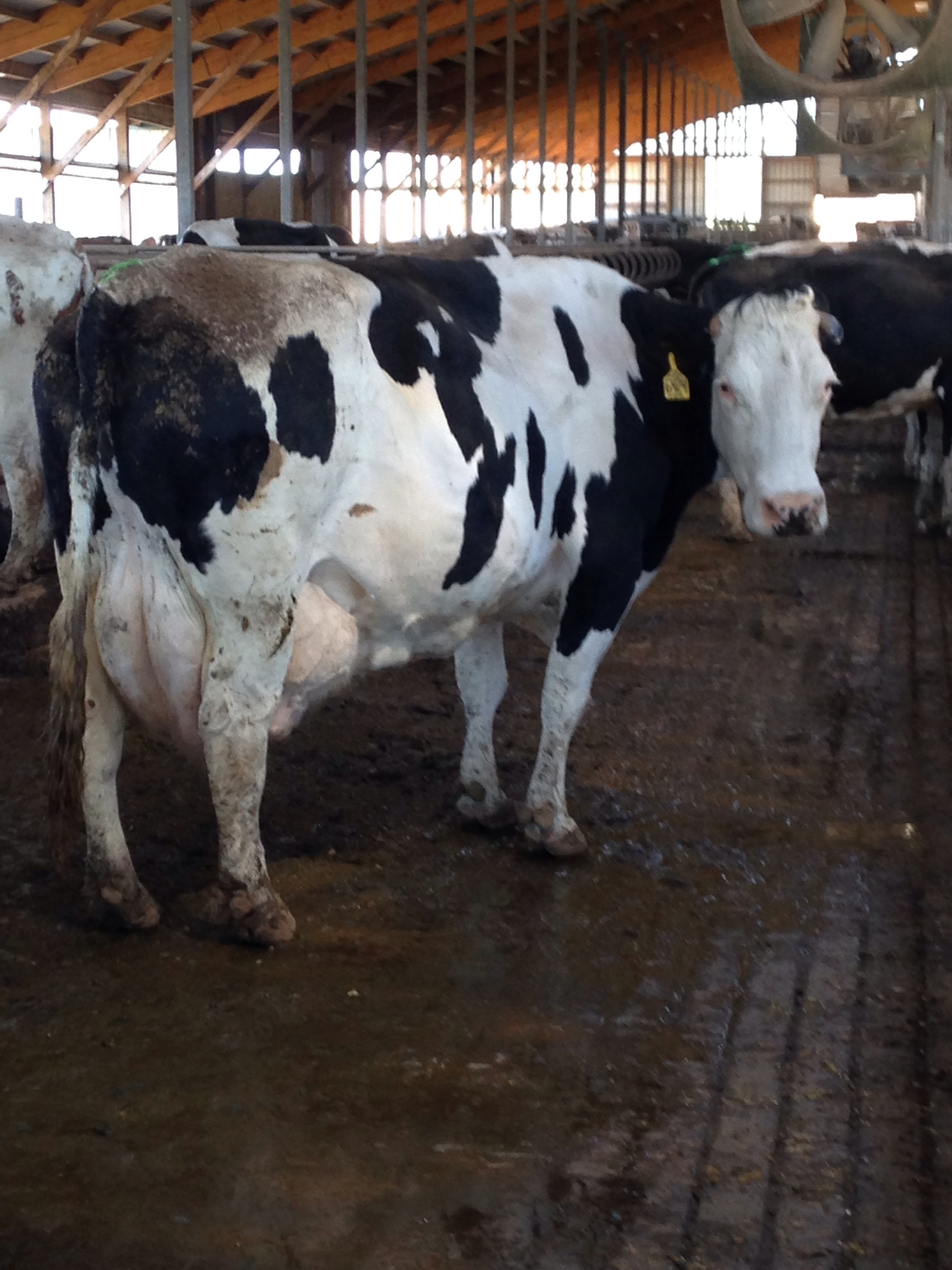 A Dairy Farm As A Technological System Teaching Practice: Vote: Crossbred Cow Of The Year 2014