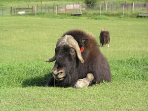 Musk Ox at the Musk Ox Farm in Palmer AK