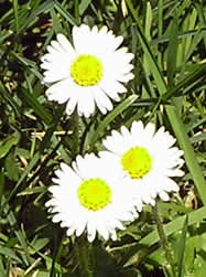 dudley moorehead daisies