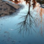 spring puddles, tree reflections
