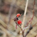 wild rose, rose hips, fall
