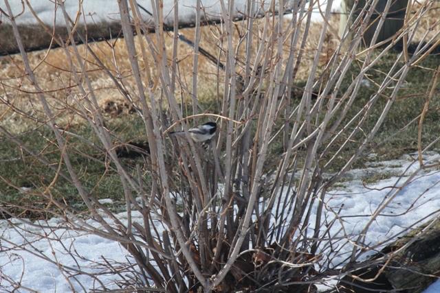 chickadee, Alberta
