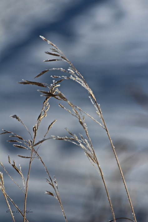 hoar frost, winter, grass, East Lake, Airdrie, Alberta