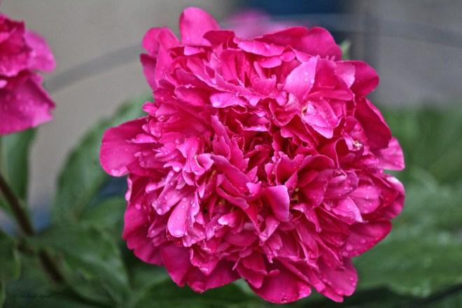 peony, bloom, flower, pink, garden, Ann Edall-Robson