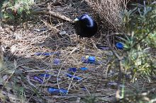 440px Satin Bowerbird nest