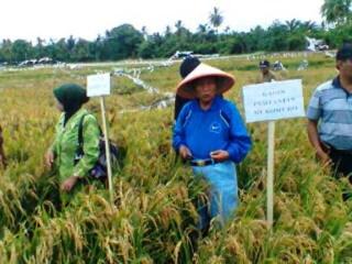 Bupati Mukomuko,  Ichwan Yunus saat panen raya padi tadah hujan di Kecamatan Ipuh (inet)