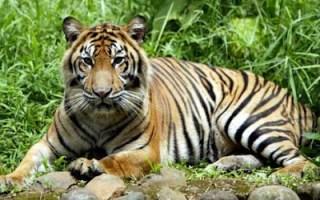 Harimau Sumatera, salah satu satwa langka yang dilindungi.