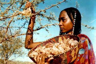 Seorang warga Sudan sedang memanen Gum Arabic (4.bp.blogspot.com)