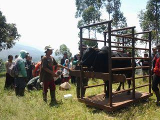 Penimbangan Sapi yang akan di panen di Desa Cikembang, Kertasari. (syasih/mtn)