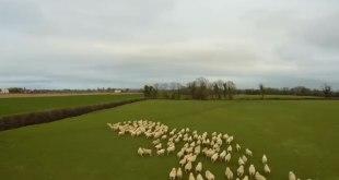 cuplikan-video-gembala-kambing-drone