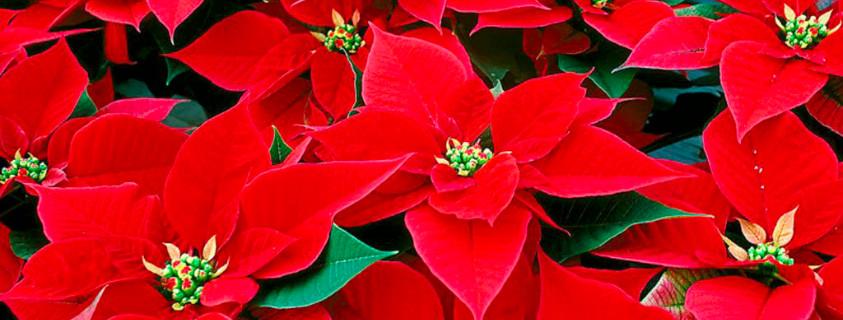 Come Prendersi Cura Della Stella Di Natale Dal Ben Giardini