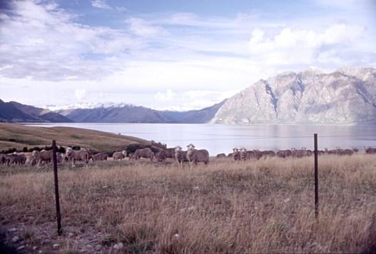 More sheep, Lake Hawea